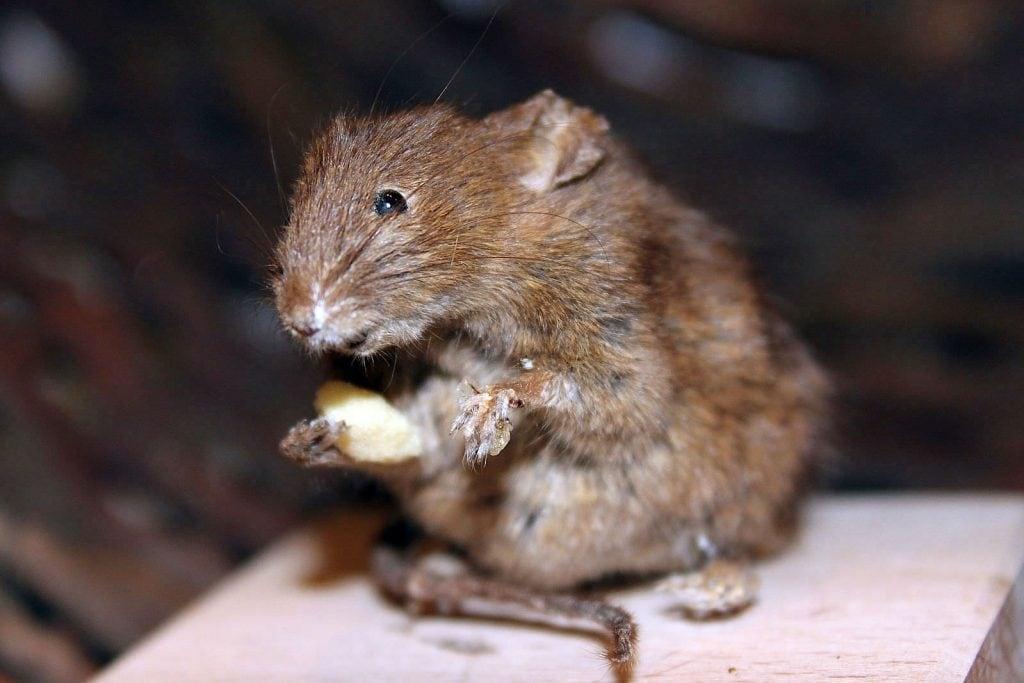 ratón casero (Mus musculus) mamífero