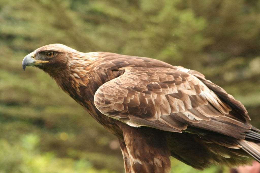 Águila real (Aquila chrysaetos) ave de bosque esclerófilo en cabañeros