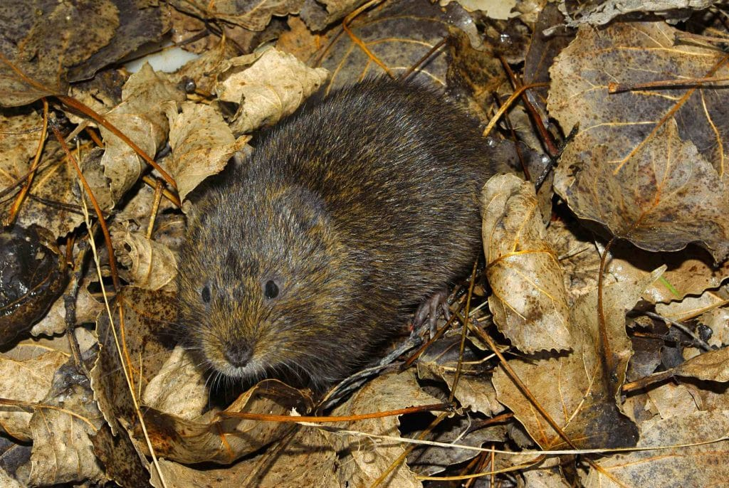 rata de agua (Arvicola sapidus) mamífero