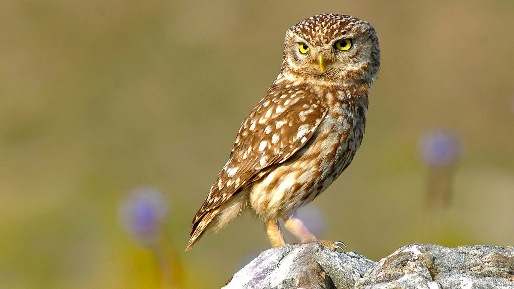 mochuelo (Athene noctua)