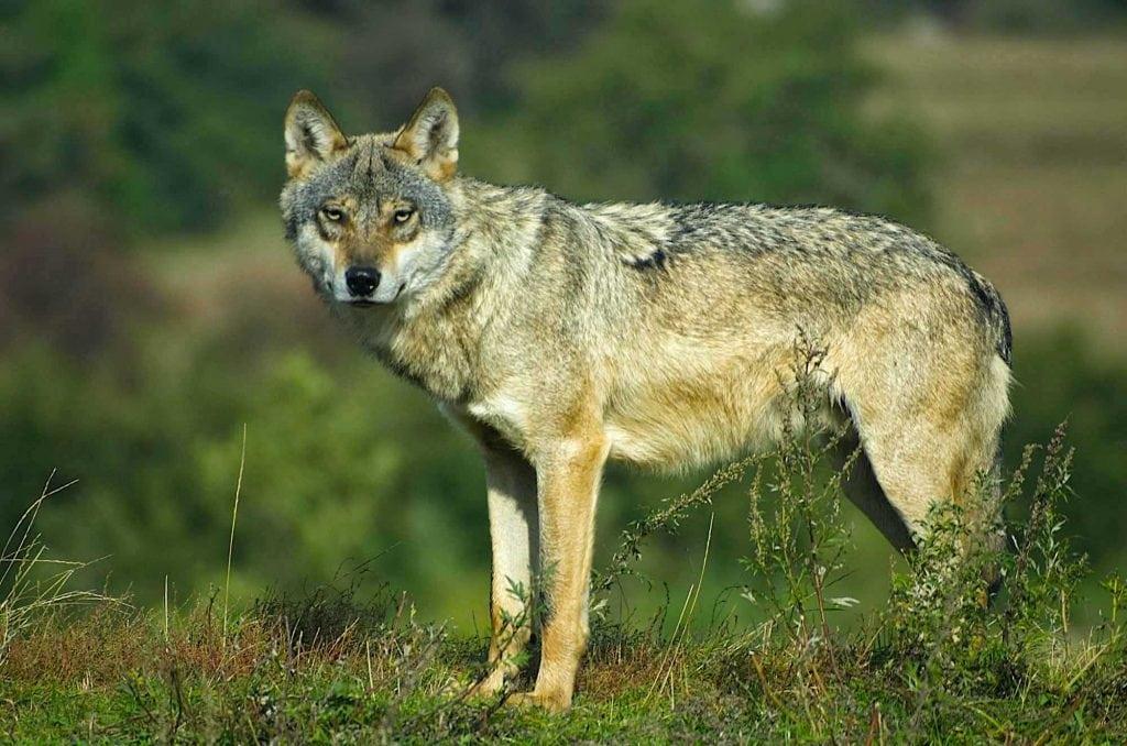 Lobo (Canis lupus) mamífero