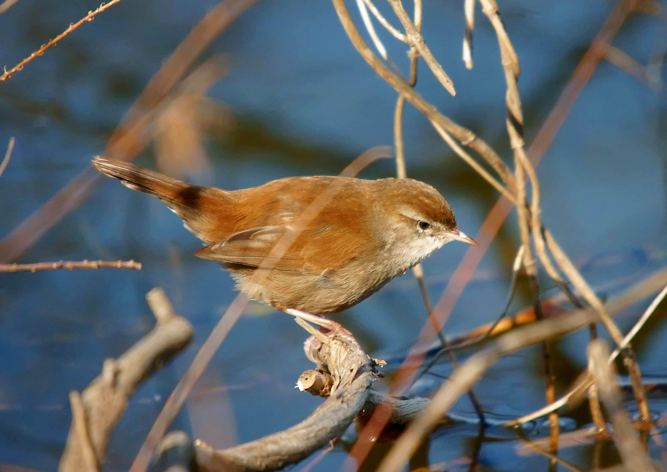Ruiseñor bastardo (Cettia cetti)