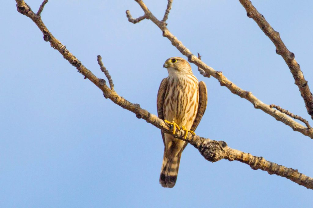 esmerejón (Falco columbarius)