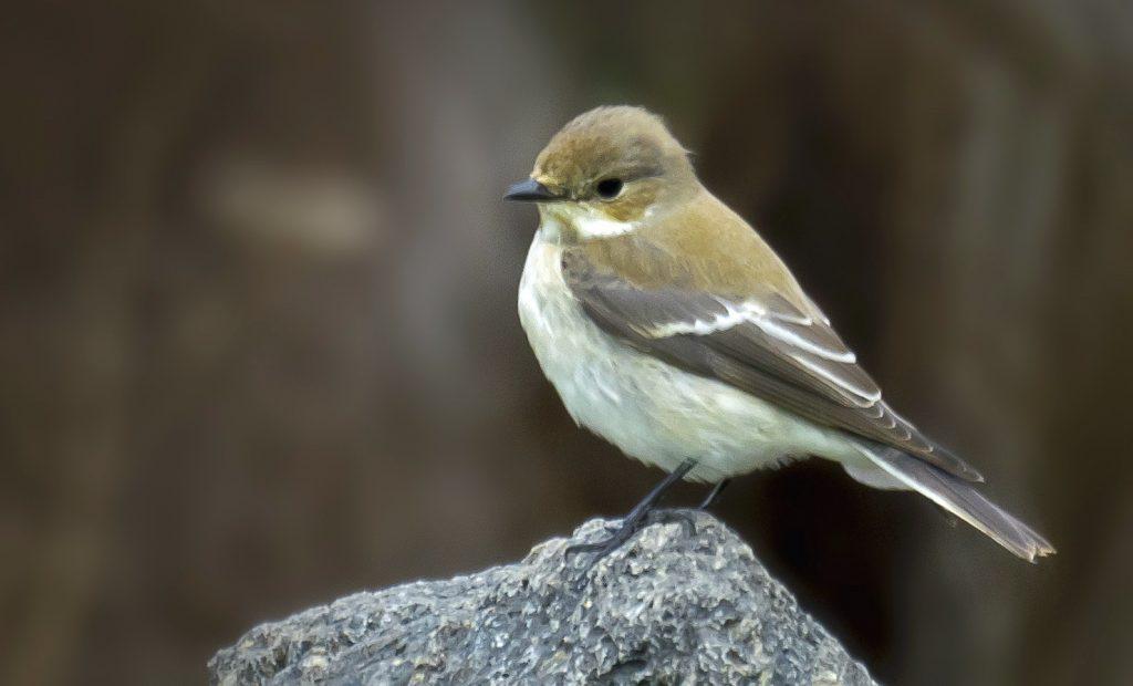 papamoscas cerrojillo (Ficedula hypoleuca)  ave de bosque esclerófilo en cabañeros