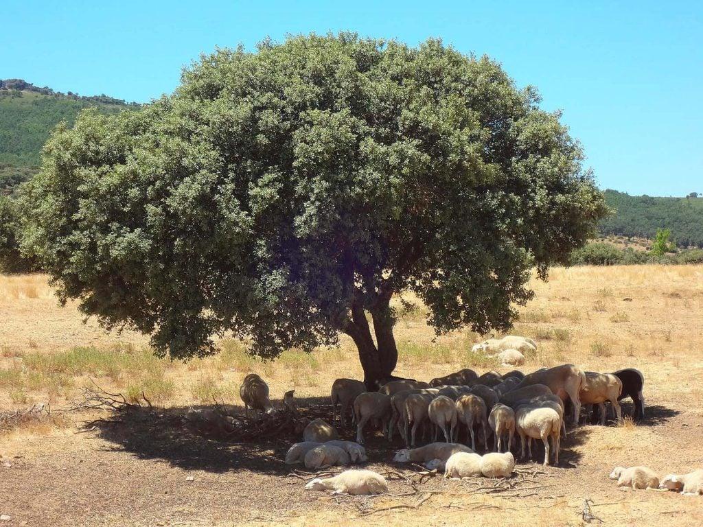 ovejas mamíferos descansando en la sombra de una encina