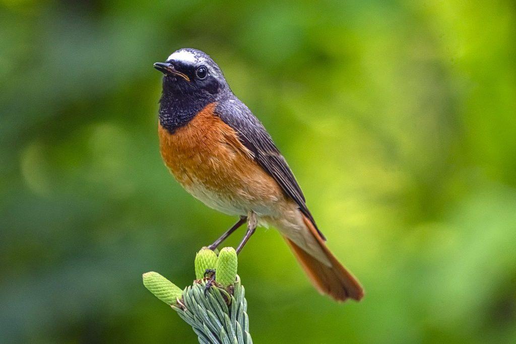 Colirrojo real (Phoenicurus phoenicurus)  ave de bosque esclerófilo en cabañeros