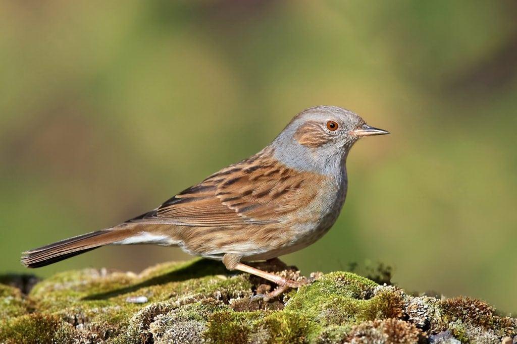 Acentor común (Prunella modularis)  ave de bosque esclerófilo en cabañeros