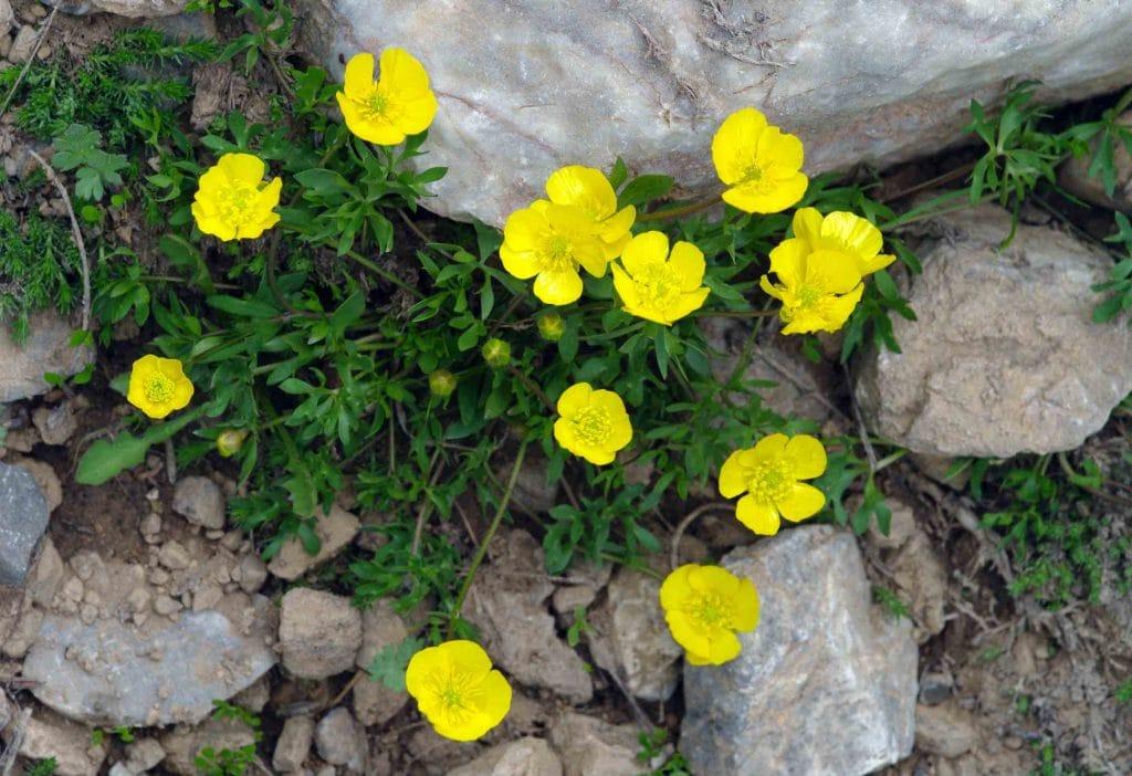 ranúnculos Ranunculus sp