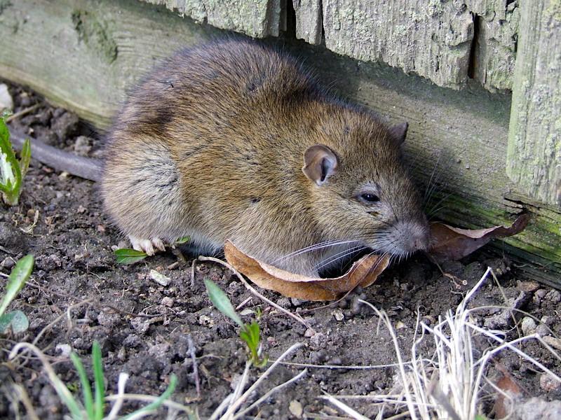 rata común o parda (Rattus norvegicus) mamífero
