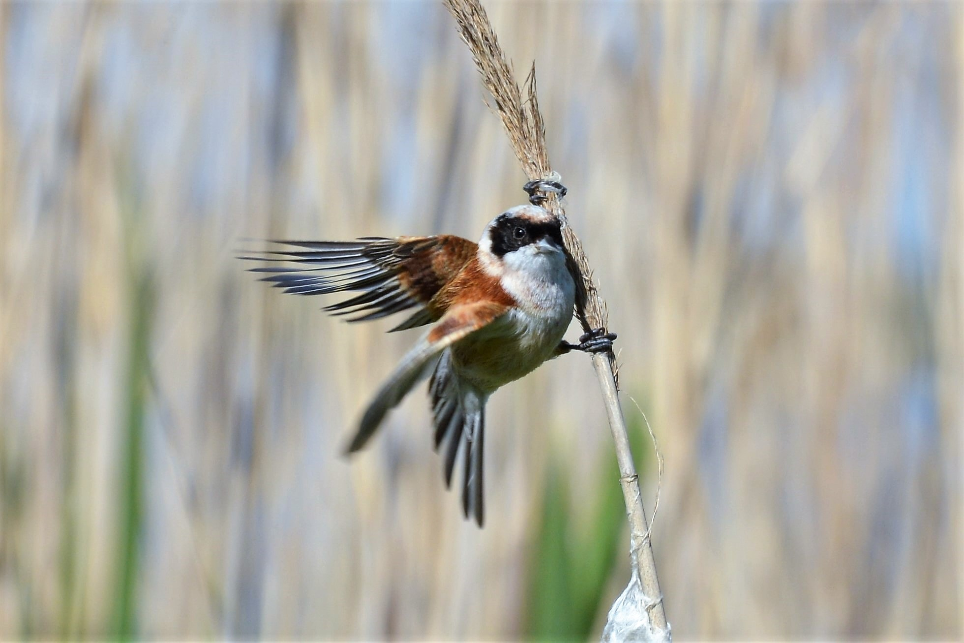 Pájaro Moscón (Remiz pendulinus)