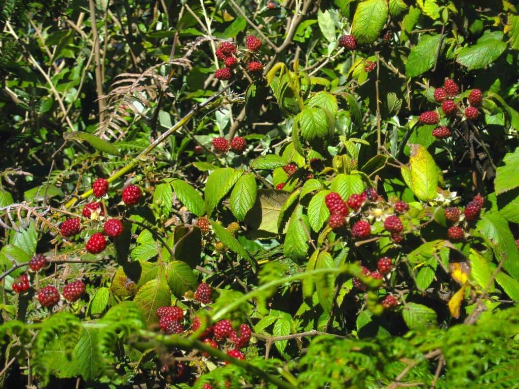 zarzamora (Rubus sp.)