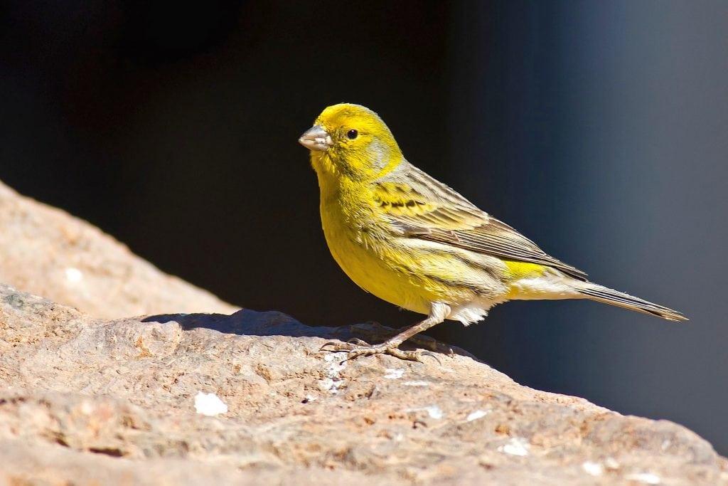 Verdecillo (Serinus serinus) ave de bosque esclerófilo en cabañeros