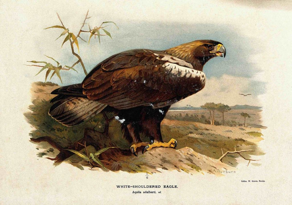 ave de cabañeros, Cromolitografía de Águila Imperial Ibérica