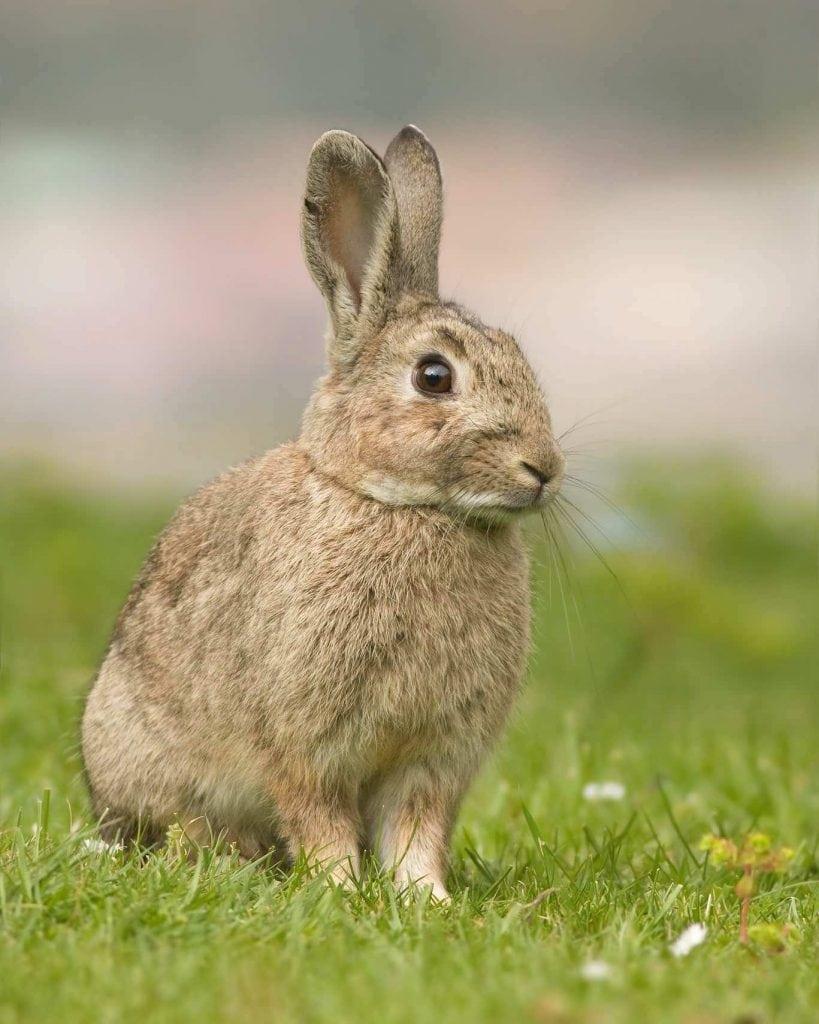 Conejo (Oryctolagus cuniculus) mamífero