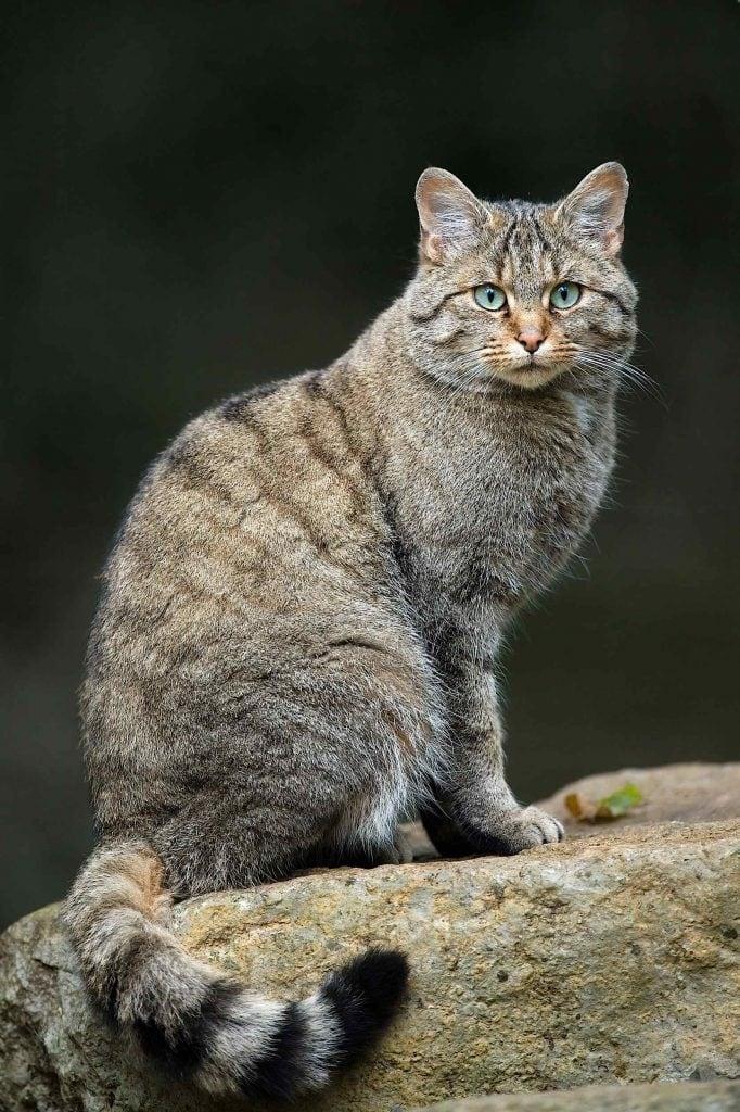 Gato montés (felis silvestis) mamífero