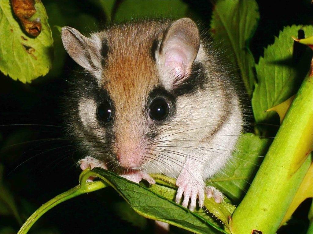 lirón careto (Eliomys quercinus) mamífero