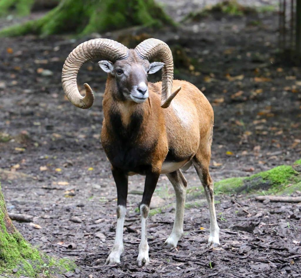 Muflón de Córcega (Ovis orientalis musimon) mamifero