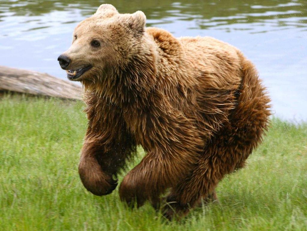 Oso pardo (Ursus arctos) mamifero