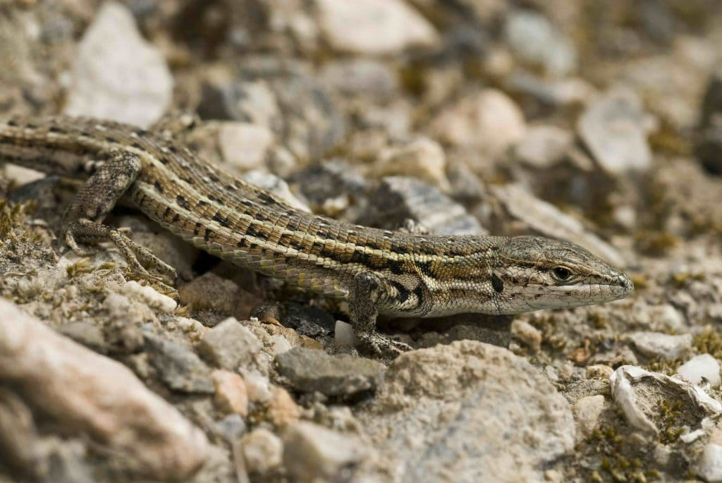 Lagartija cenicienta (Psammodromus hispanicus)