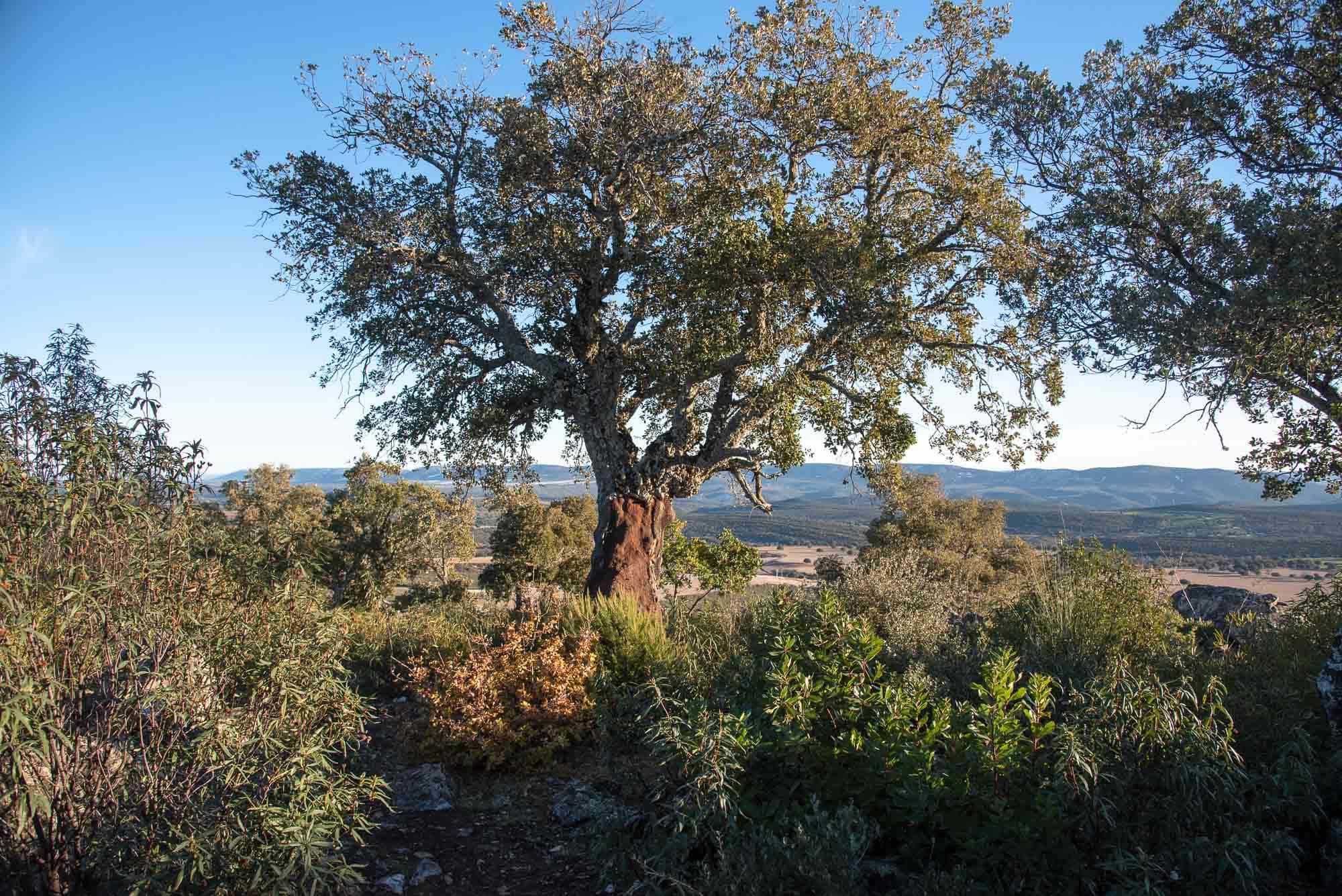 Alcornoque Quercus suber plaza de los moros