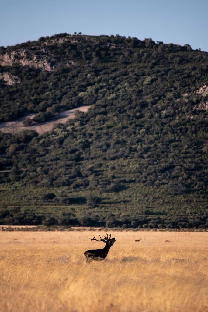 Ciervo berreando en Cabañeros