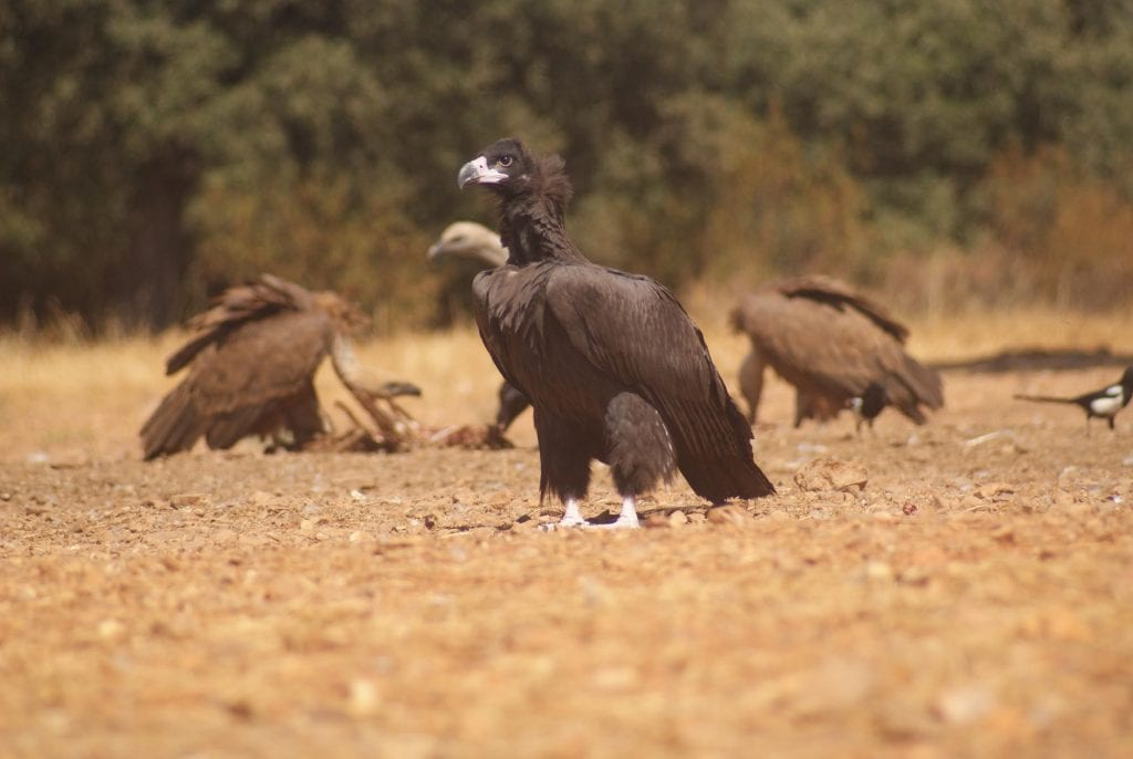 Buitre Negro muladar