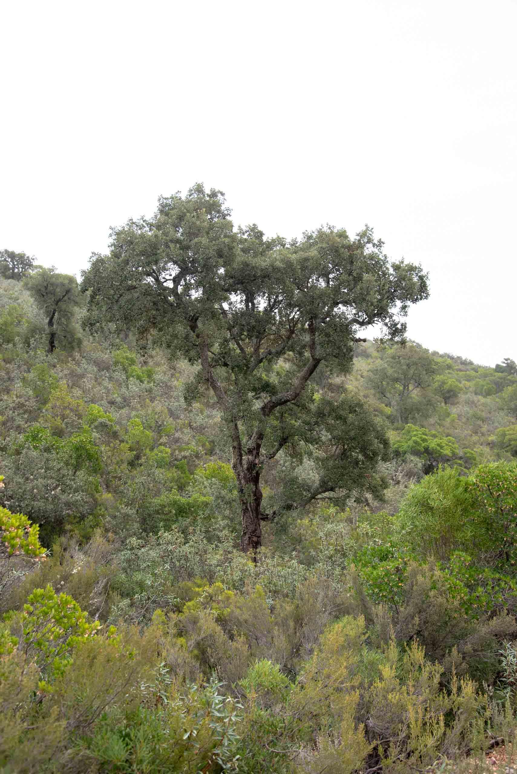 Alcornoque rodeado de jara, brezo, madroño en la ruta de la Viñuela