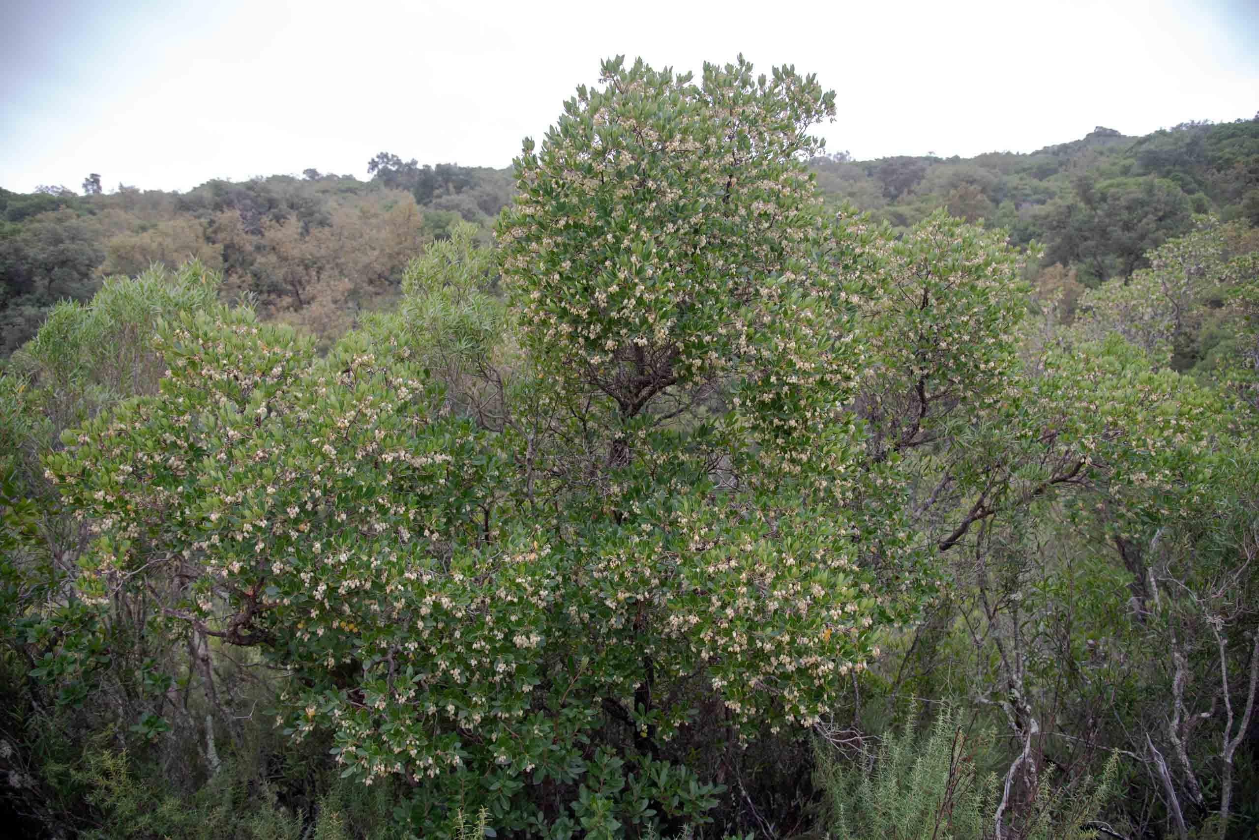 Madroño (Arbutus unedo) en otoño en la Viñuela Madroñales
