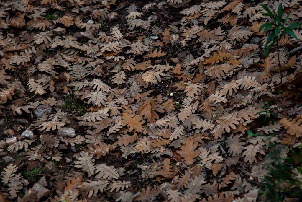 Hojas caídas de Rebollo en la Viñuela