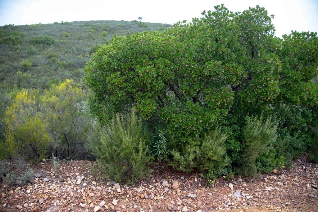 jara madroño brezo y romero en la ruta de la viñuela