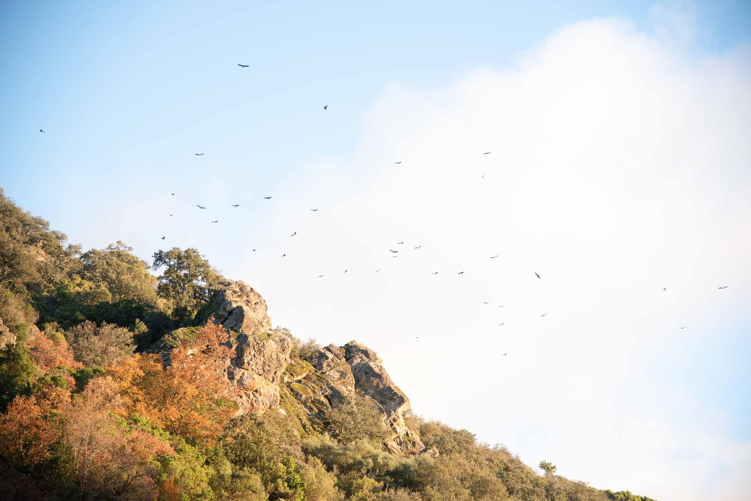 Buitres en la Chorrera de Horcajo