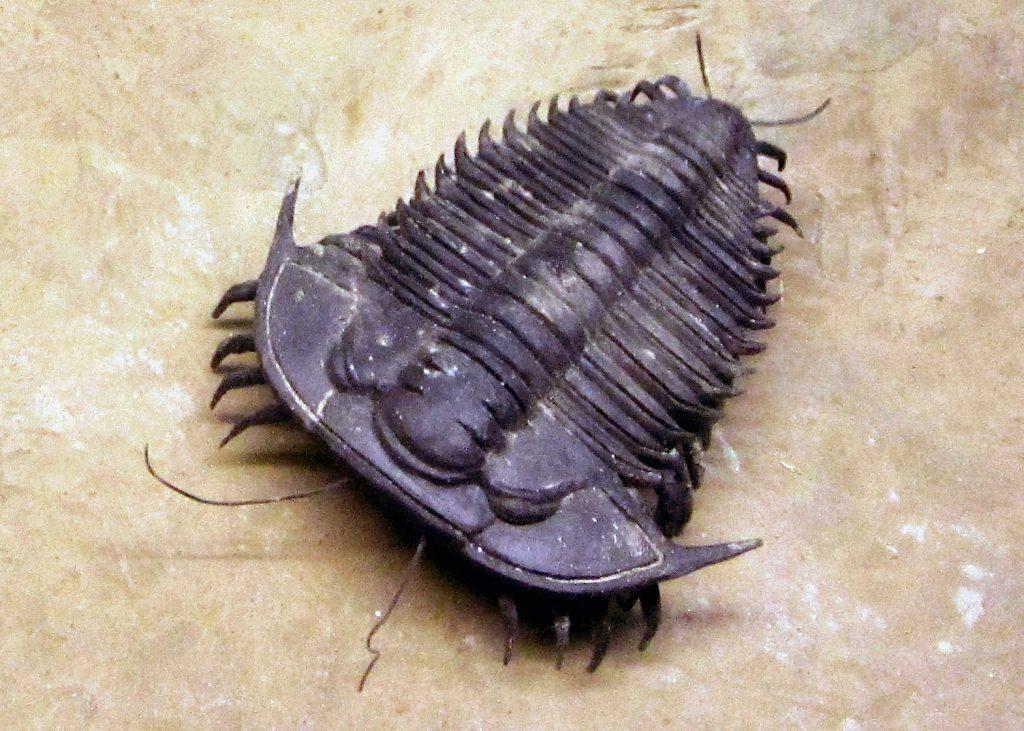 recreacion real trilobites