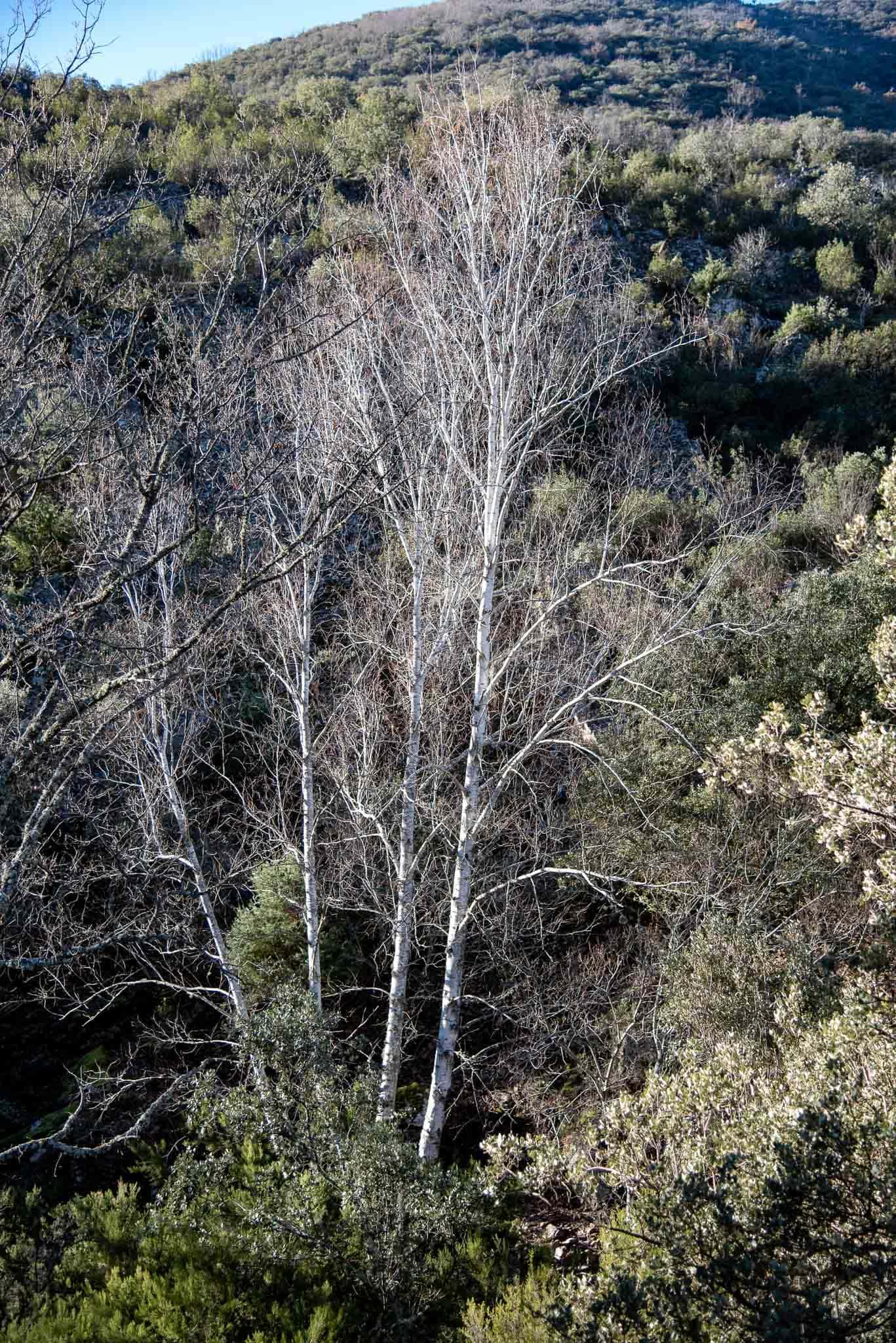 Abedul (Betula pendula subsp. fontqueri var. parvibracteata) en Navalucillos