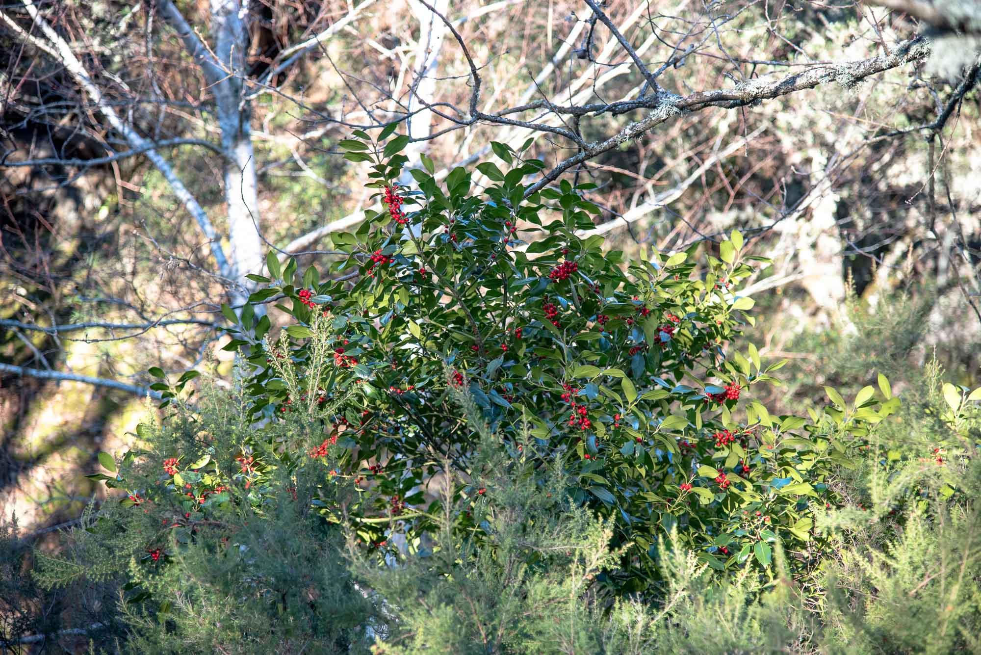 Acebo Ilex aquifolium Acebo Ilex aquifolium