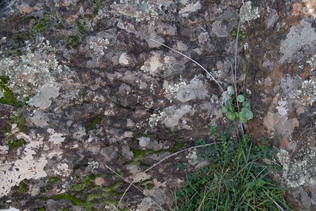 Ombligo de Venus (Umbilicus rupestris) en una rizadura (Ripple marks) de la Chorrera