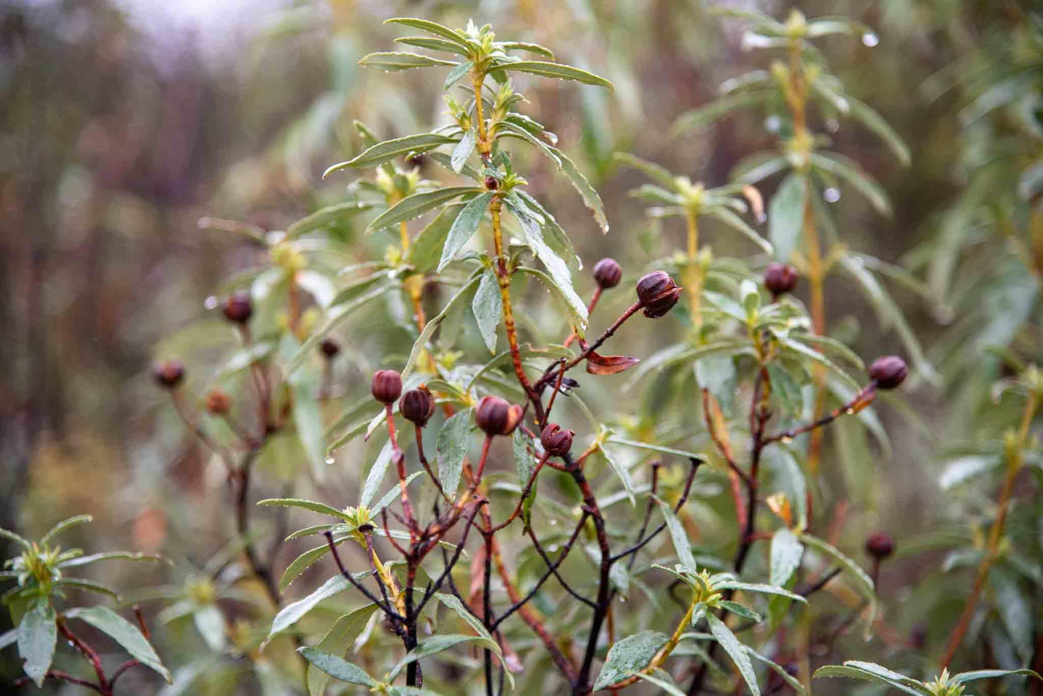 Jara pringosa (Cistus ladanifer) jarales