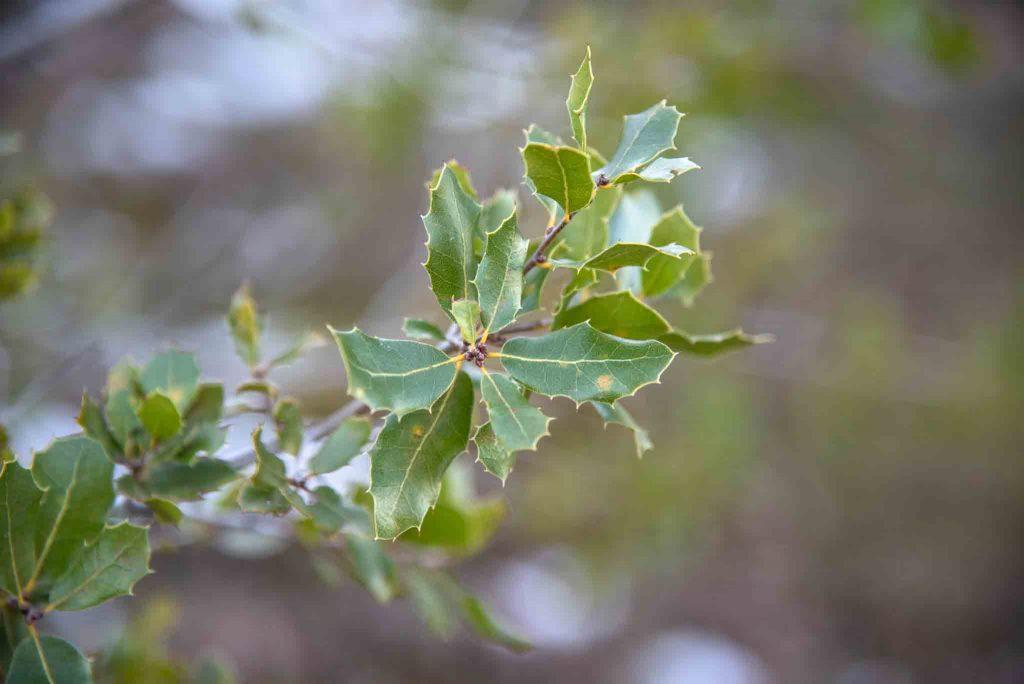 Coscoja (Quercus coccifera)3