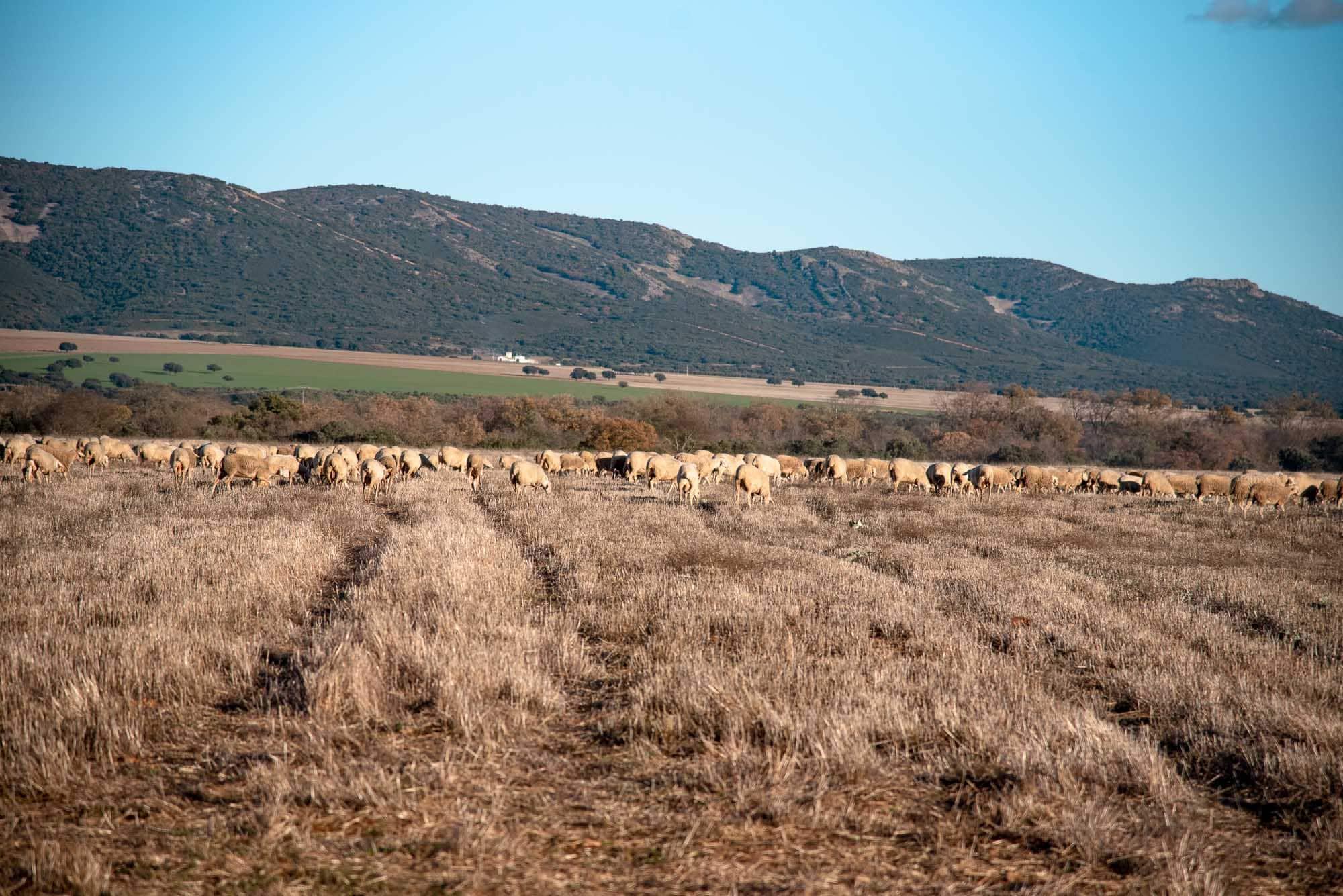 Dehesa navalrincón ovejas ganado