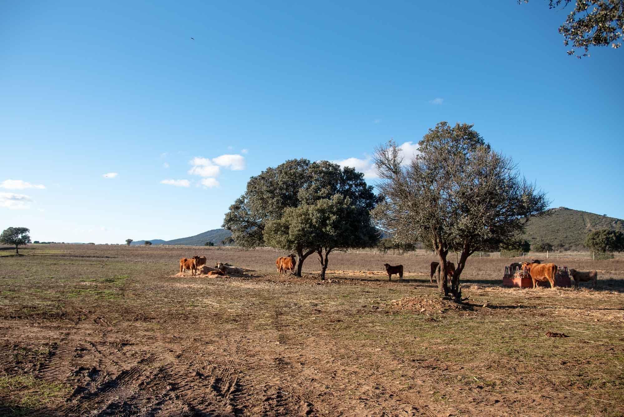Dehesa navalrincón vacas