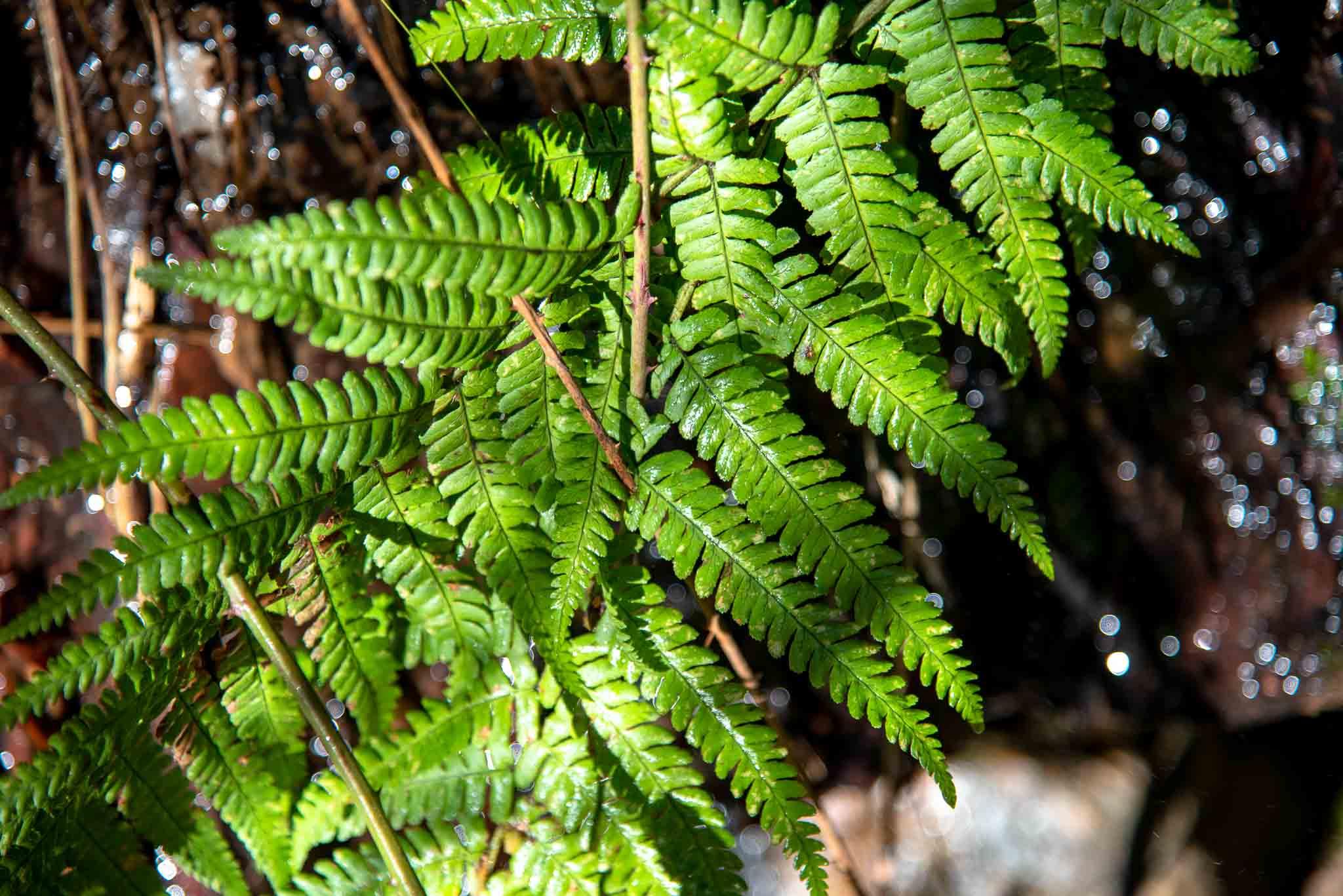 Helecho (Dryopteris affinis) en la Chorrera