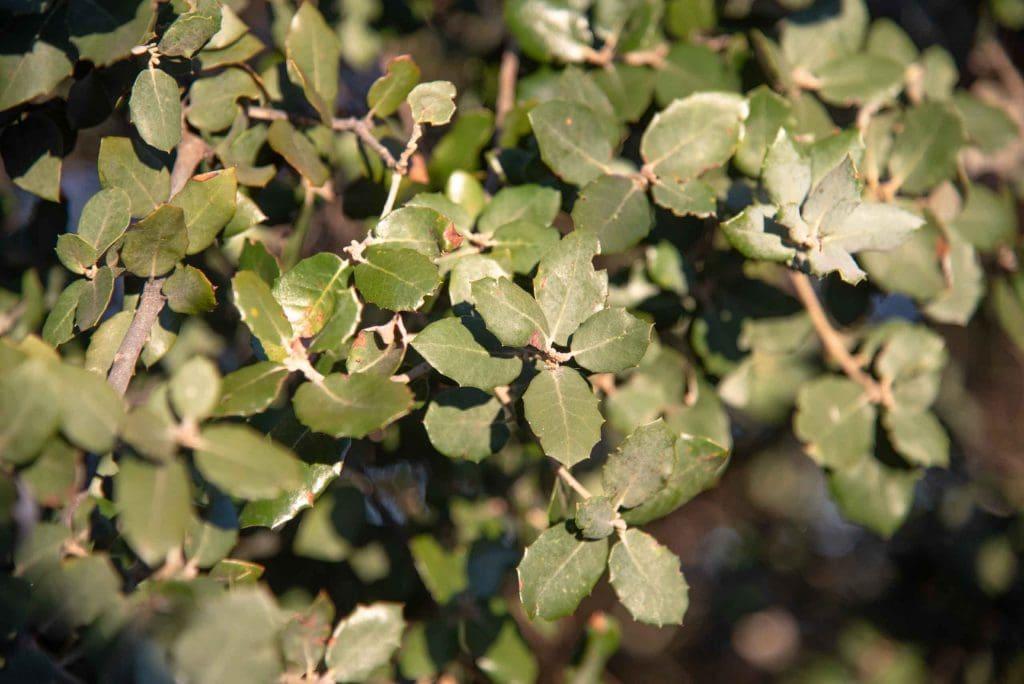 Hojas de encina Quercus ilex L. subsp. ballota (Desf.) Samp. (= Quercus rotundifolia Lam.)