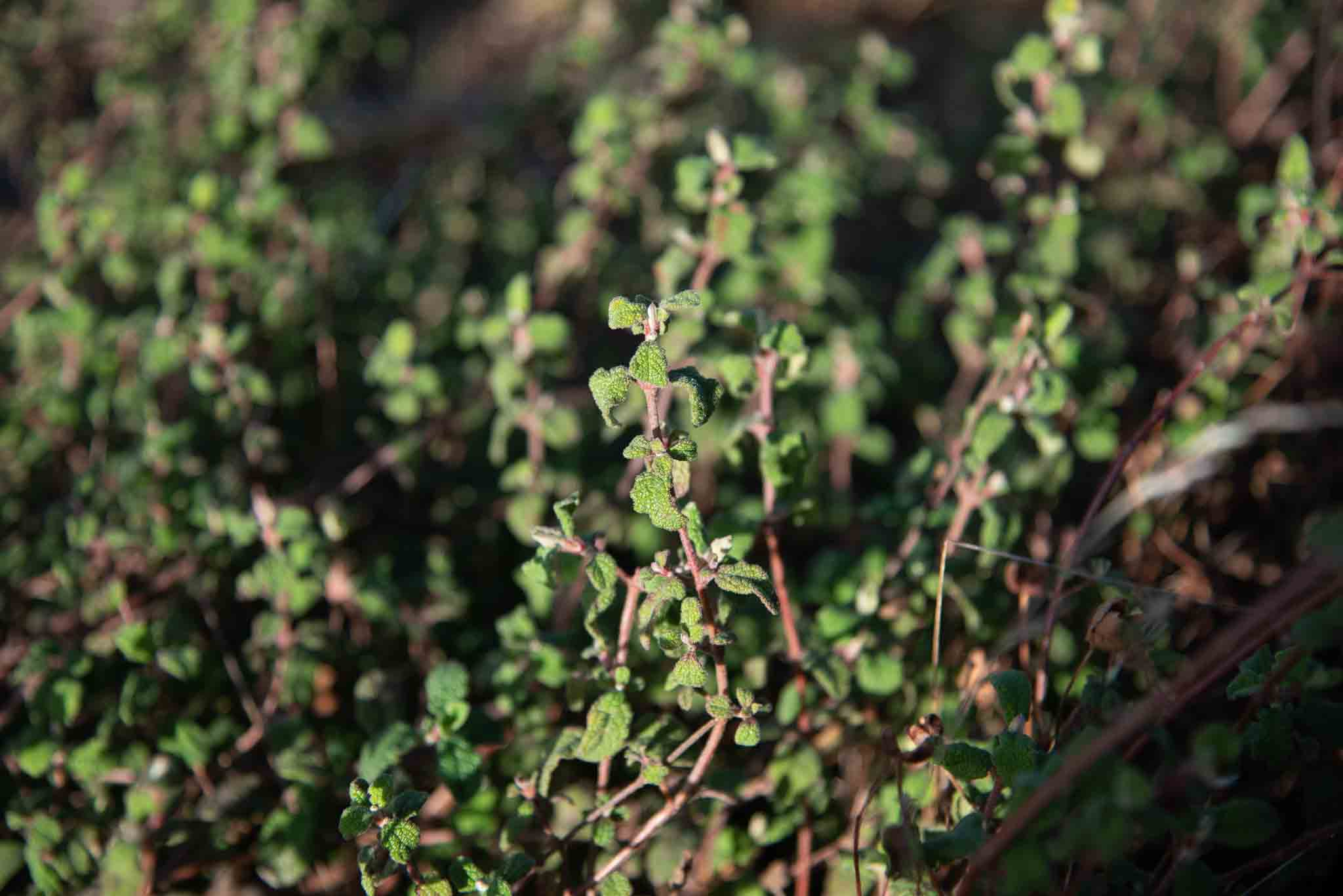 Jaguarzo morisco (Cistus salviifolius)