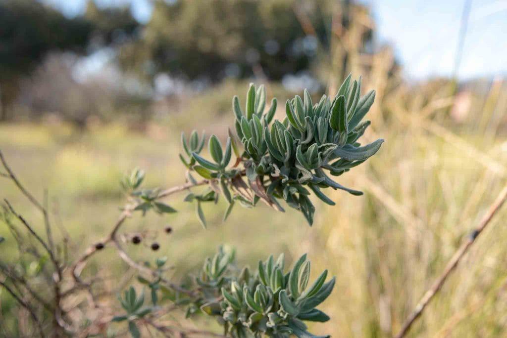 Jara blanca Cistus albidus palillos