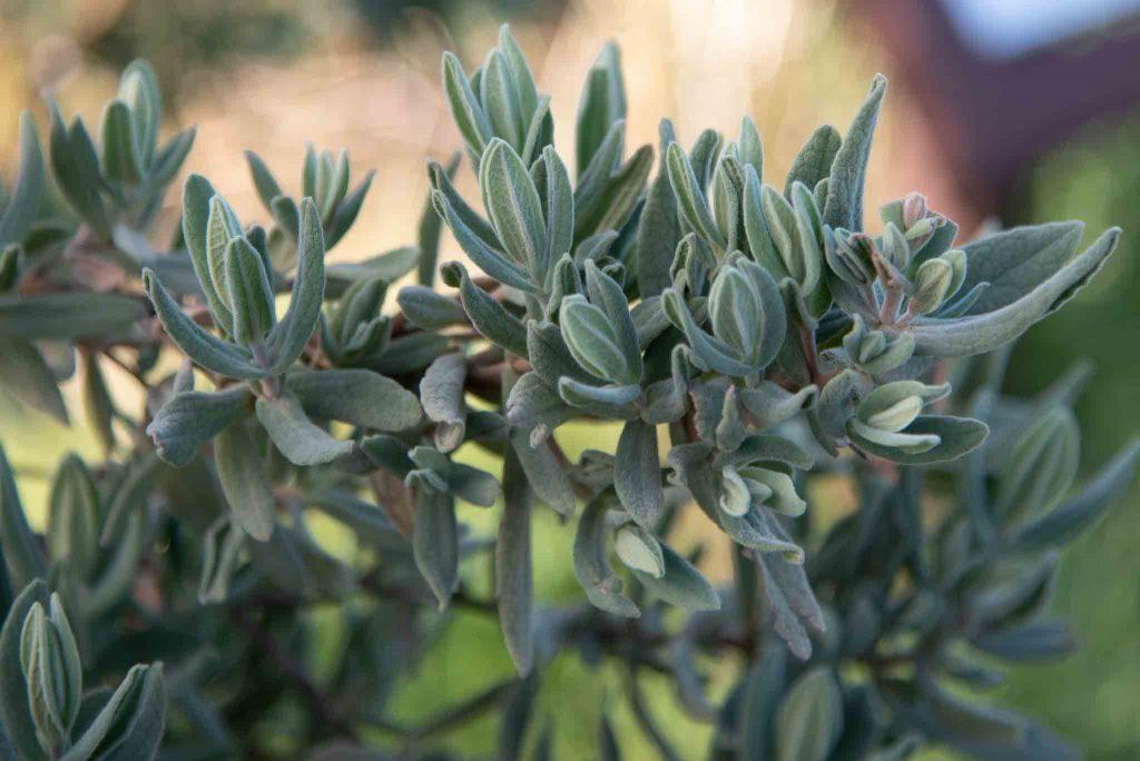 Jara blanca Cistus albidus palillos 2