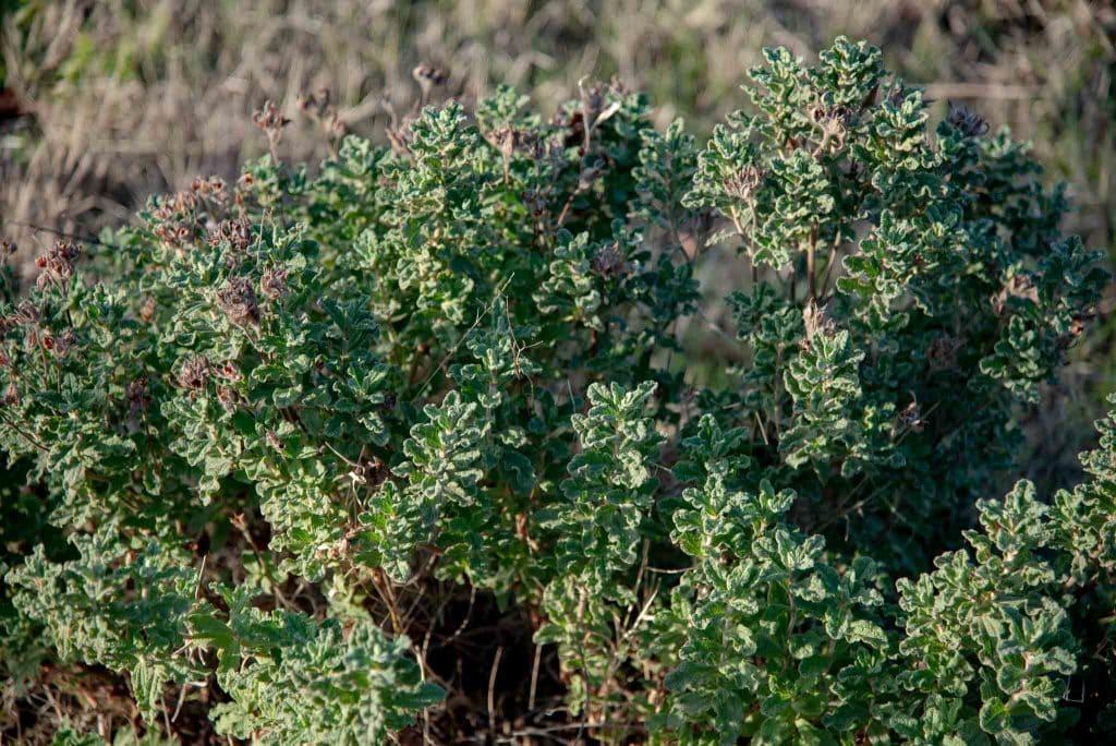 Jara montesina (Cistus crispus)