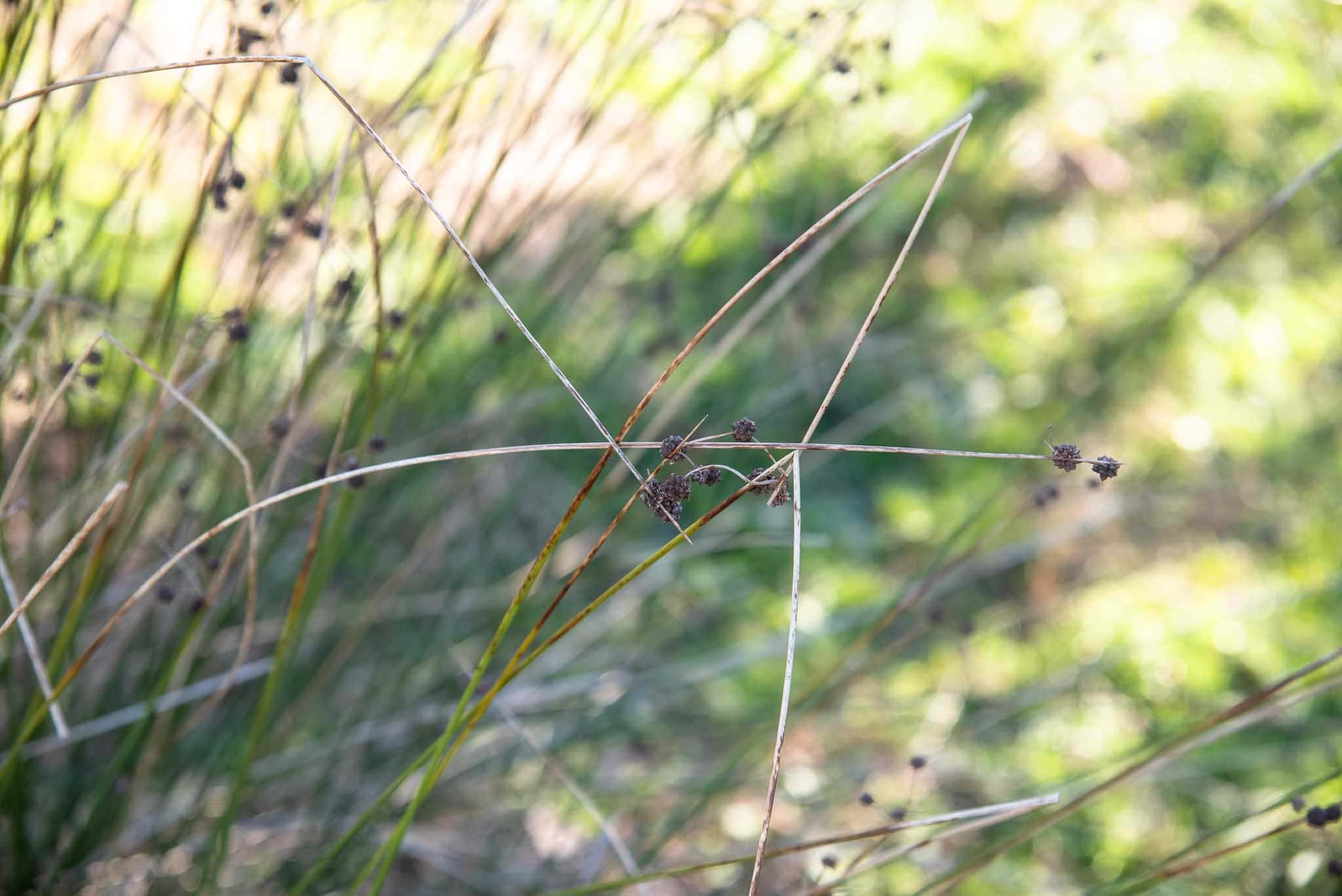 Junco churrero (Scirpus holoschoenus) en Palillos