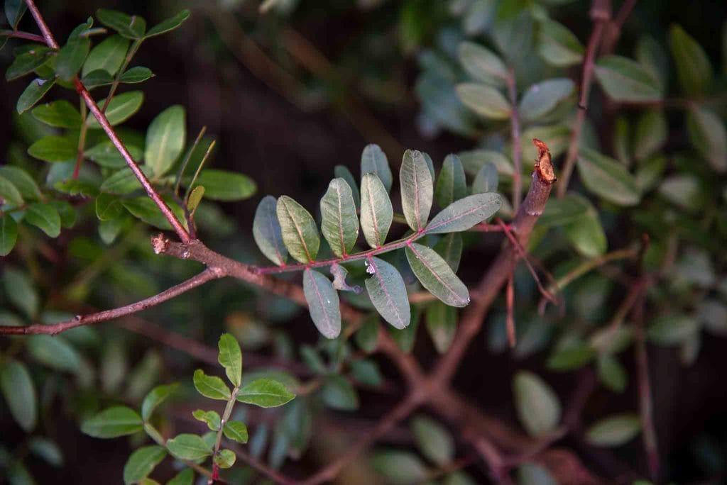 Lentisco (Pistacia lentiscus) 1