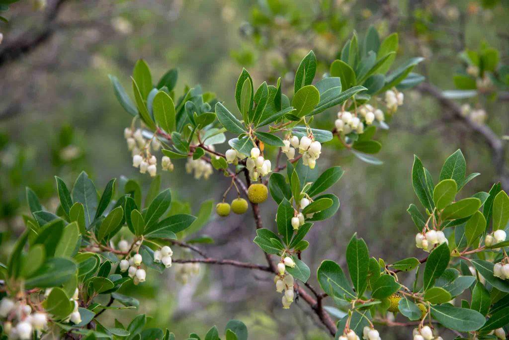 Madroños Madroñales (Arbutus unedo)