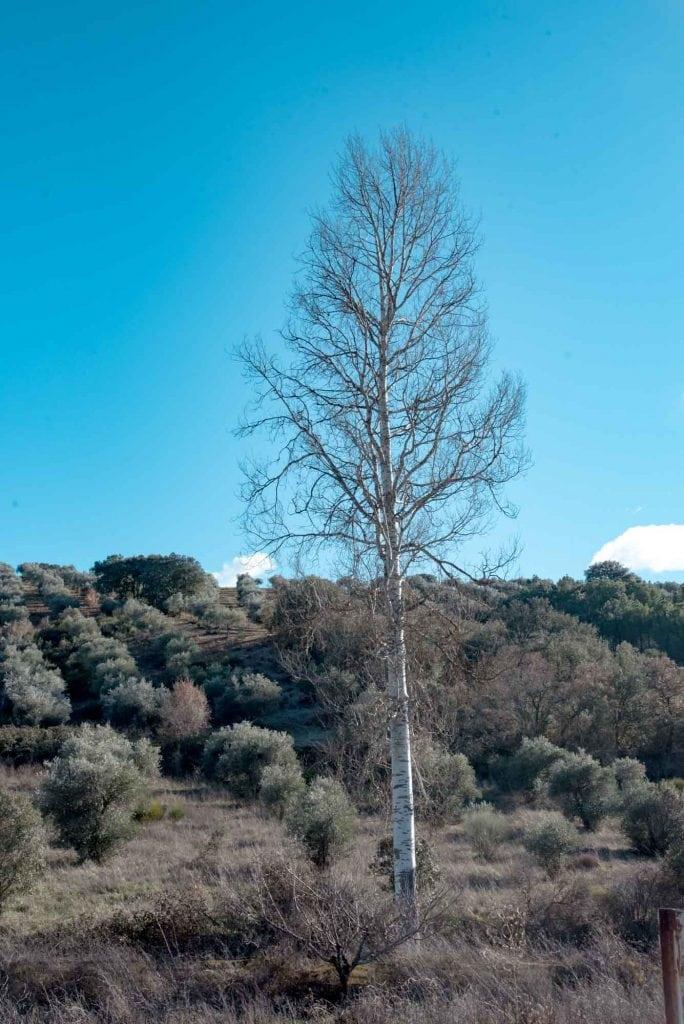 Chopo o álamo blanco (Populus alba) en el camino de La Chorrera de Horcajo.