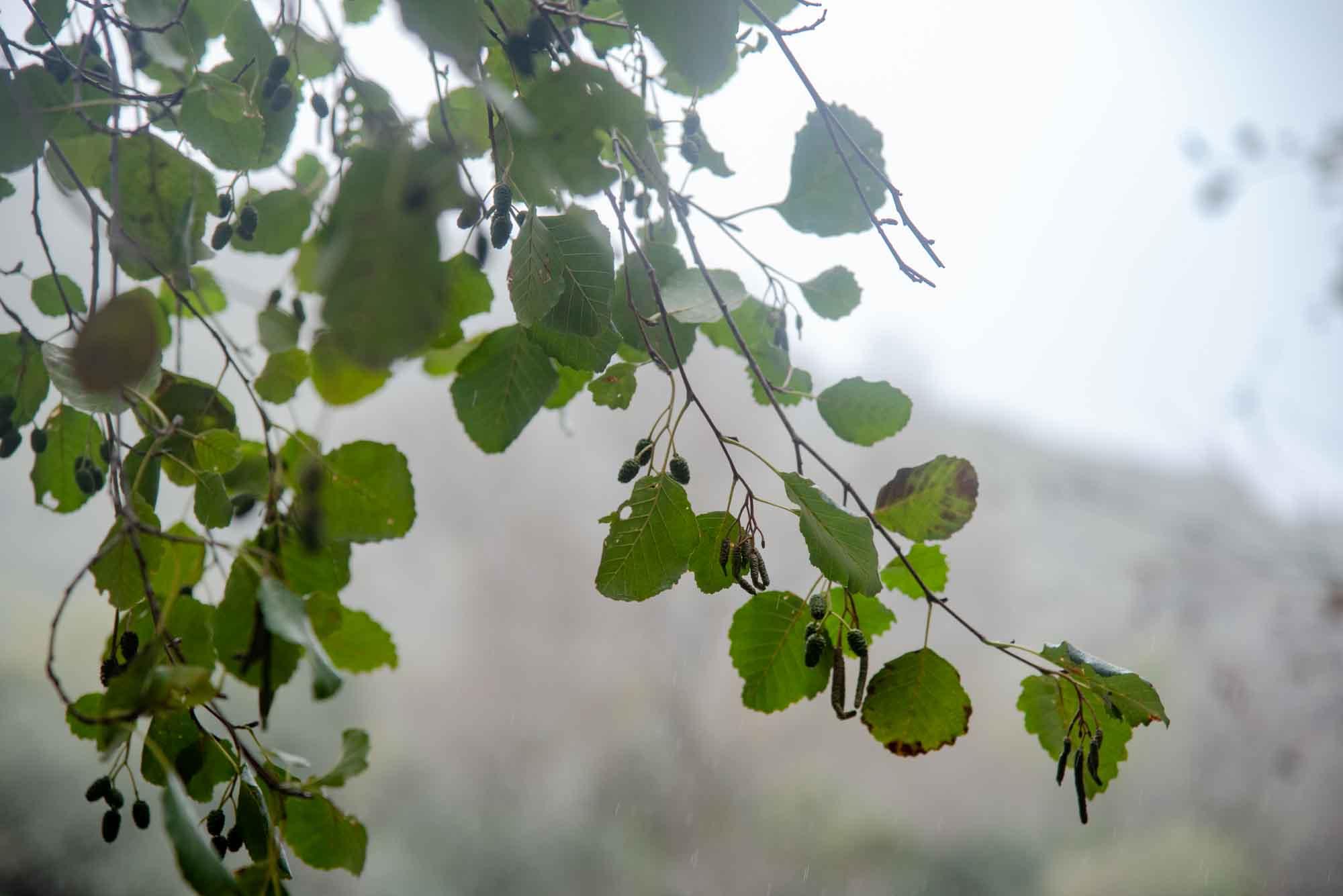hojas de aliso gargantilla